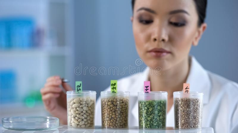 Female lab scientist examining grain, nutrition quality control, gmo products stock images