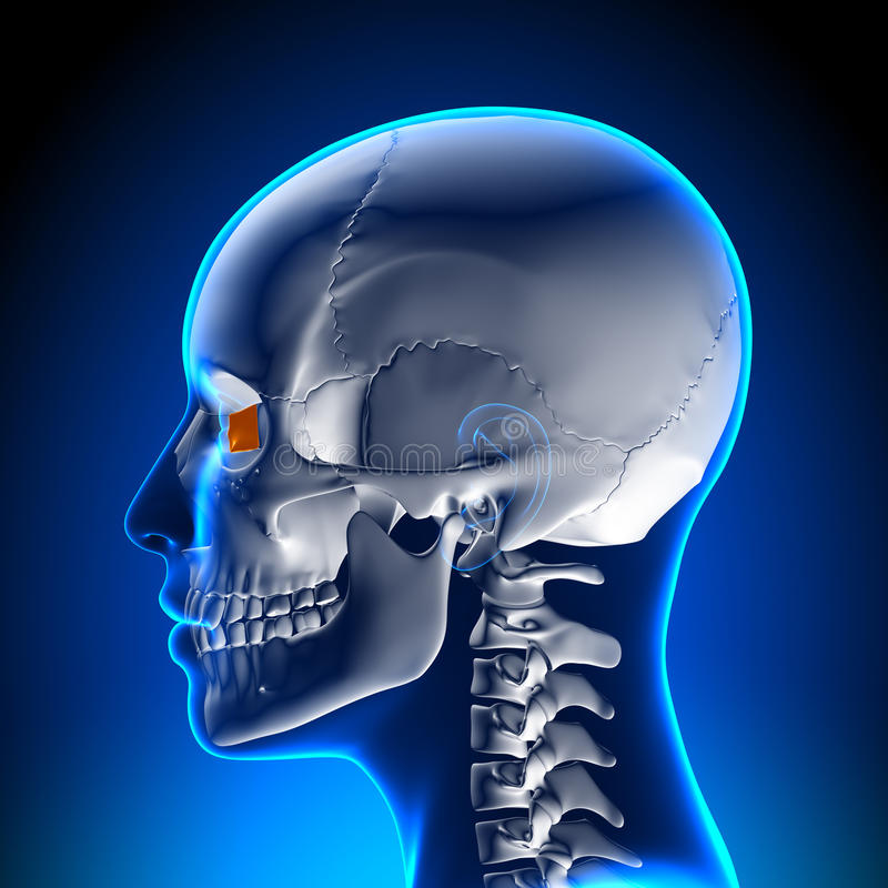 Female Lacrimal bone - Skull / Cranium Anatomy royalty free illustration