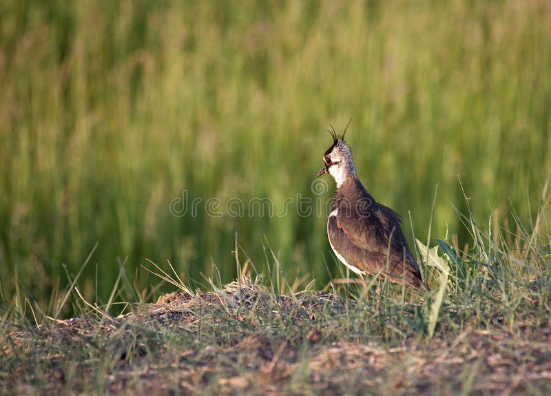 Download Female lapwing stock image. Image of female, morning - 14859595