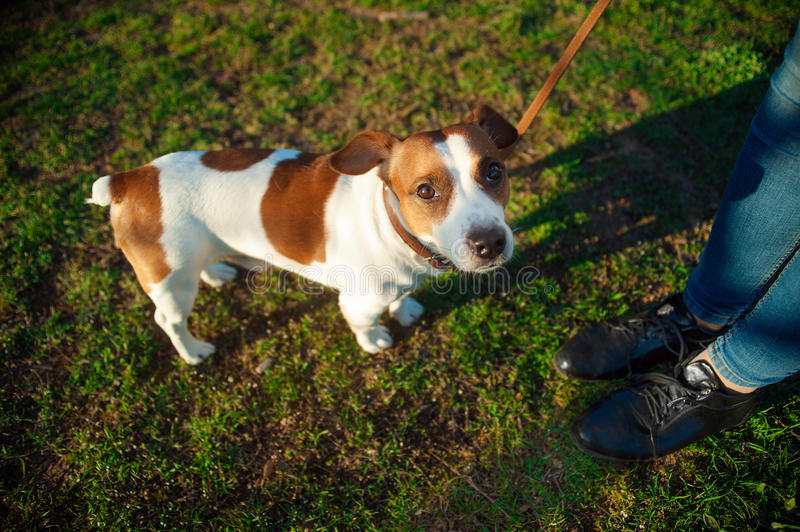 Female legs and a dog Jack Russell Terrier in park royalty free stock photos