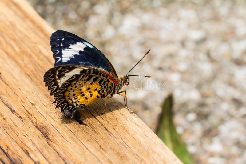 Female leopard lacewing butterfly. Close up of female leopard lacewing (Cethosia cyane euanthes) butterfly perching on old plank of wood royalty free stock photo