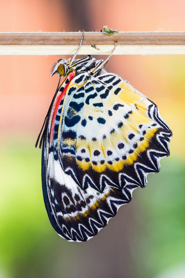 Female leopard lacewing butterfly. Close up of newly born female leopard lacewing (Cethosia cyane euanthes) butterfly clinging on stick royalty free stock photos