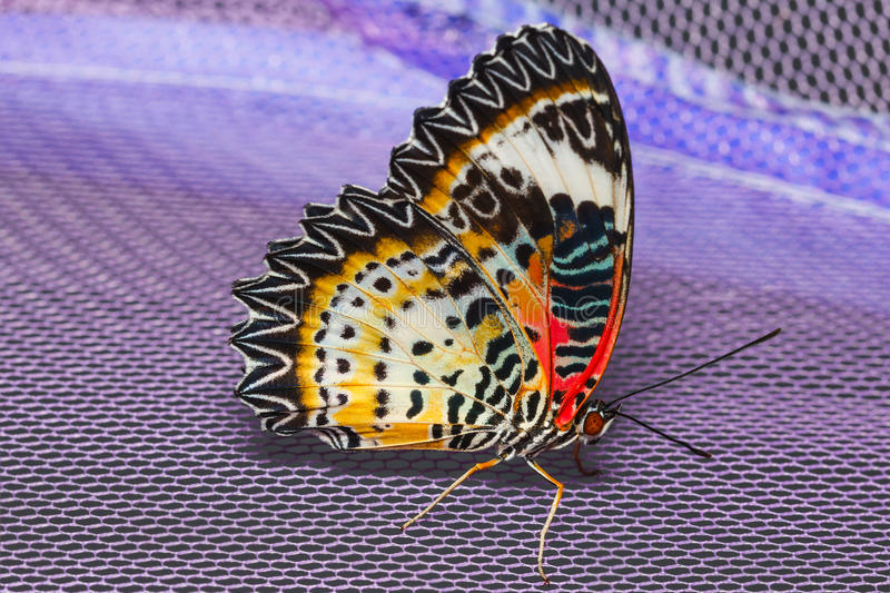 Female of Leopard lacewing butterfly. Resting on net stock photography