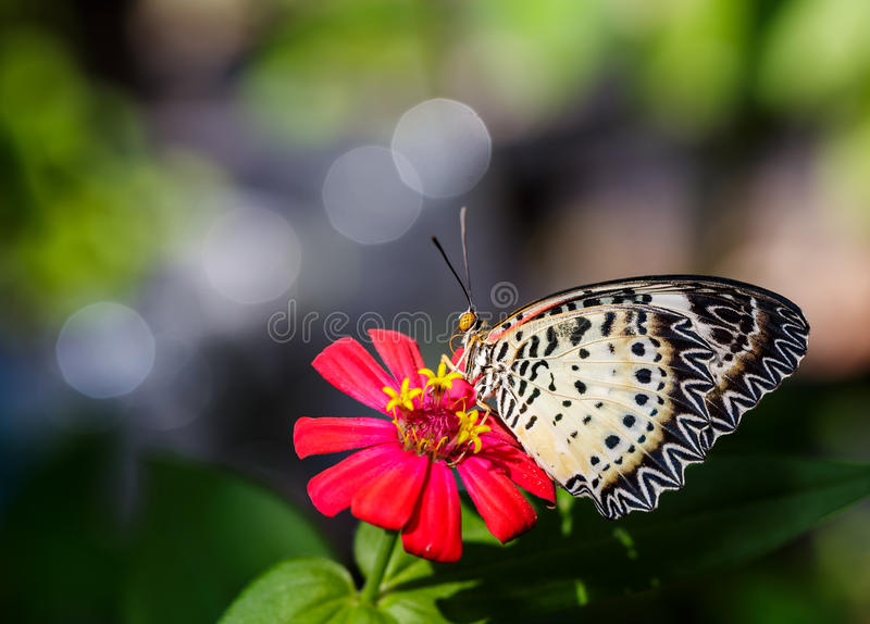 Female Leopard lacewing (Cethosia cyane euanthes) butterfly on f. Female Leopard lacewing (Cethosia cyane euanthes) butterfly resting on flower royalty free stock images