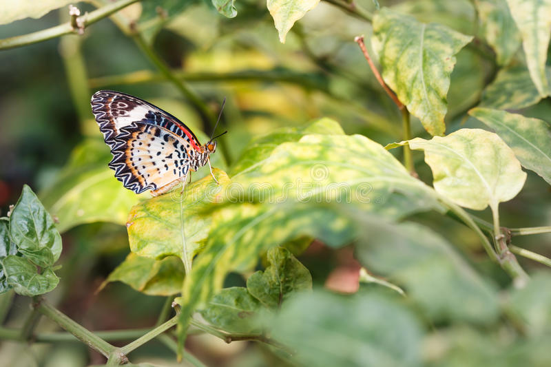 Female Leopard lacewing & x28;Cethosia cyane euanthes& x29; butterfly hang. Ing on plant royalty free stock photos