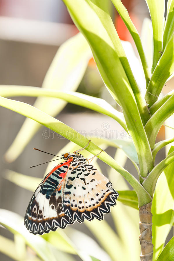Female Leopard lacewing & x28;Cethosia cyane euanthes& x29; butterfly hang. Ing under plant stock image