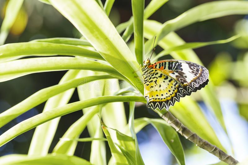 Female Leopard lacewing Cethosia cyane euanthes butterfly hang. Ing on plant royalty free stock image