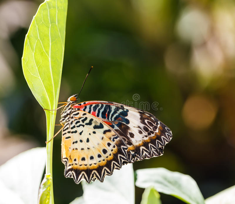 Female Leopard lacewing (Cethosia cyane euanthes) butterfly. Resting on plant stock image