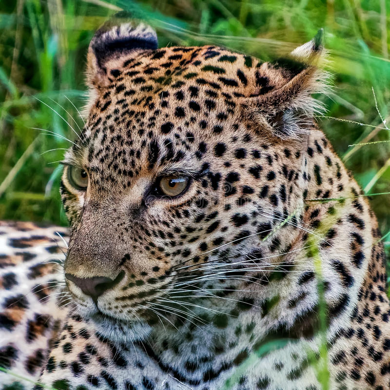 Female leopard lying in the grass after a kill. Recovering royalty free stock photo