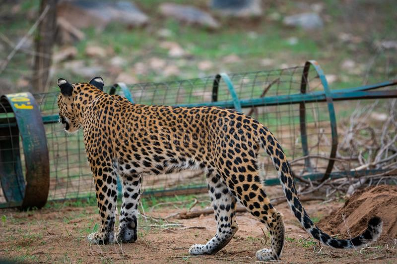 Female leopard or panther or panthera pardus in green background at jhalana forest reserve, jaipur. A female leopard or panther or panthera pardus in green stock photography