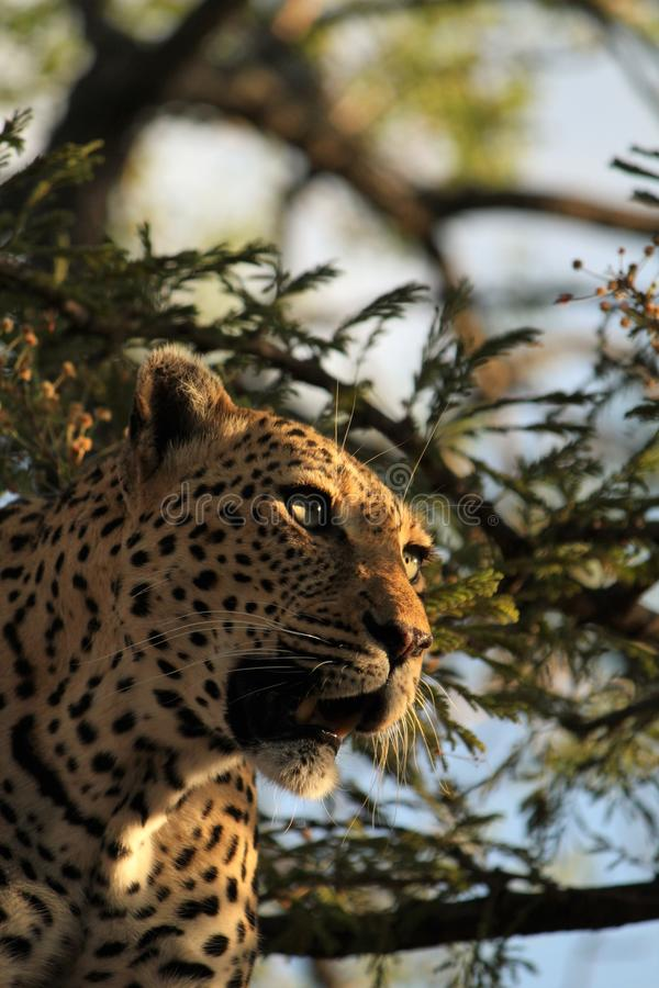 Female leopard in tree stock photography