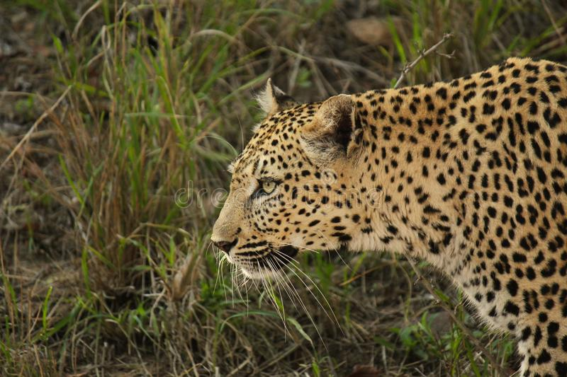 Female Leopard walking. The queen of the bush. A beautiful female leopard seen here walking. Probably patrolling her territory, or on the hunt for some food royalty free stock photos