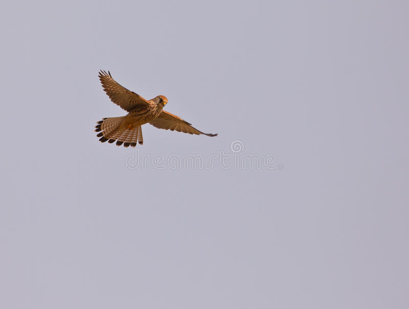 Female Lesser Kestrel hovering. A female Lesser Kestrel (Falco naumanni) displays the typical stand-still in the air, hovering while looking with sharp eyes for stock photo