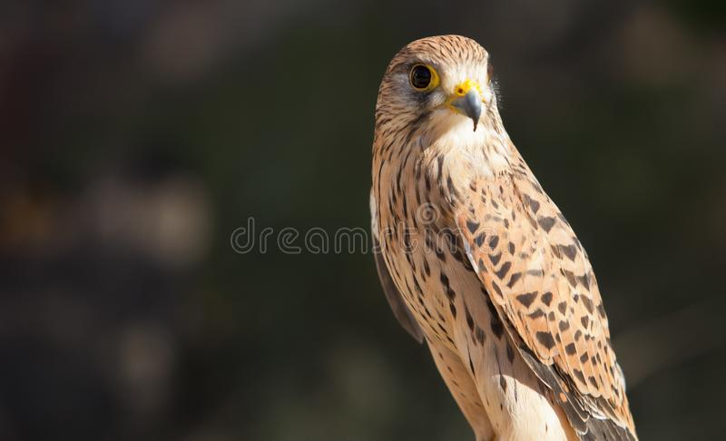 Female Lesser kestrel perched. Falco naumanni royalty free stock photos