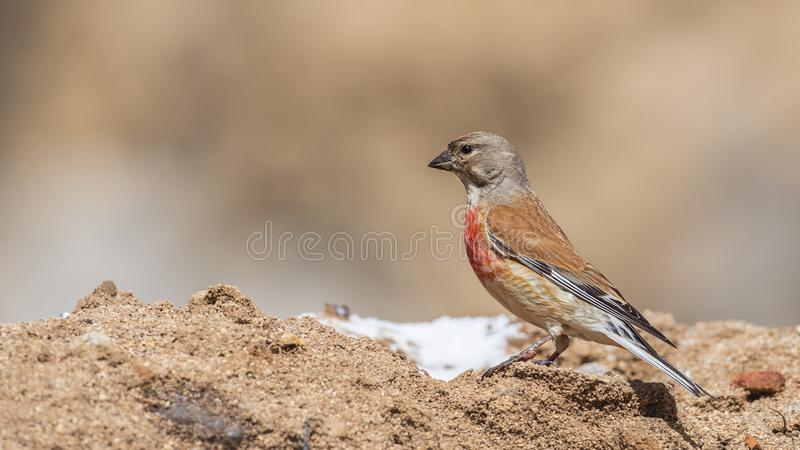 Female Linnet on Top of Salty Soil stock photo