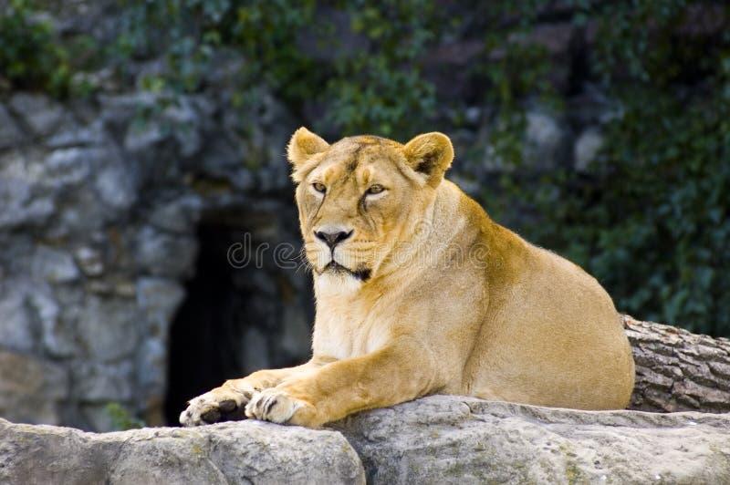 Download Female lion stock image. Image of exotic, lion, predator - 1089929