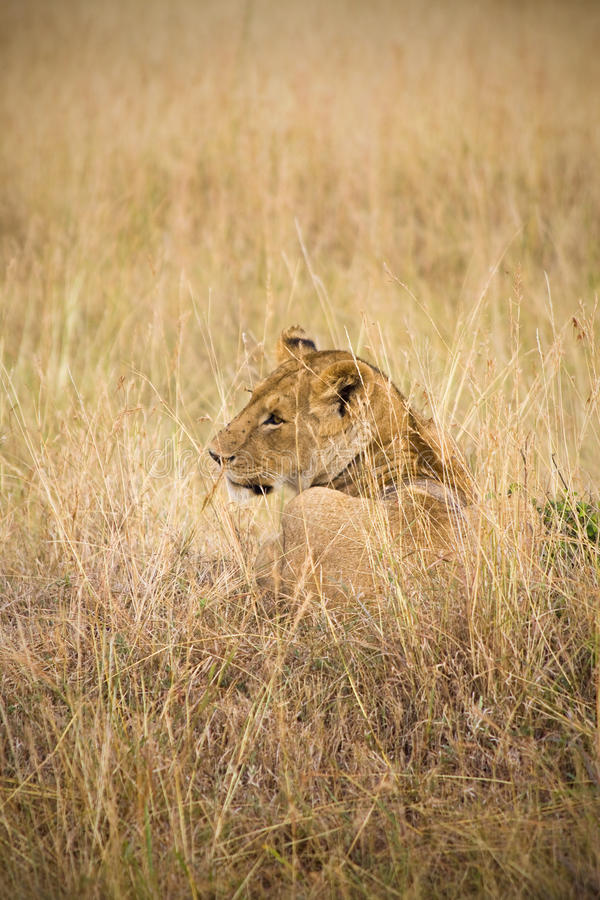 Free Female Lion Royalty Free Stock Images - 13797359