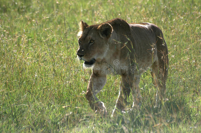 Download Female lion stock image. Image of lion, beast, hunting - 18833347