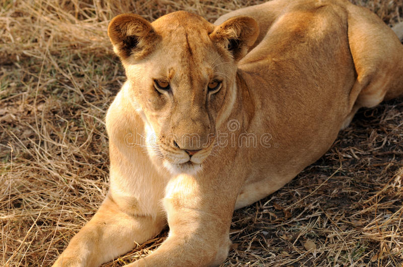 Download Female lion stock photo. Image of female, africa, wildlife - 23201248