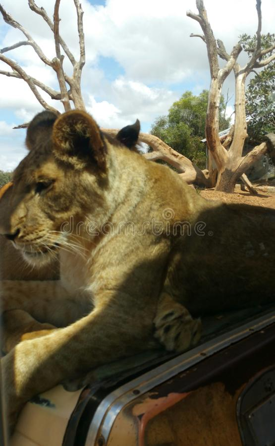 Download Female lion stock photo. Image of beautiful, lion, huge - 105367048
