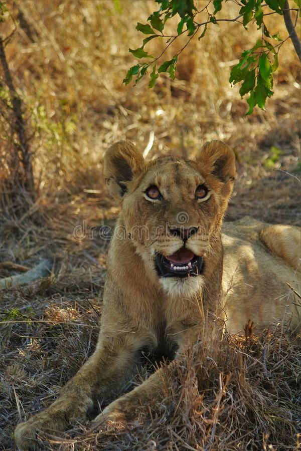 Female lion cub staring up royalty free stock photos