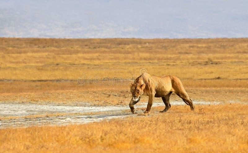 Download Female Lion Hunting In Grasslands Of Ngorongoro Stock Photo - Image of portrait, kalahari: 26949134