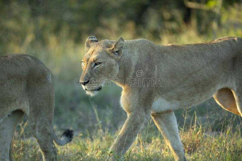 Female lion. In hunting party moving off royalty free stock photos