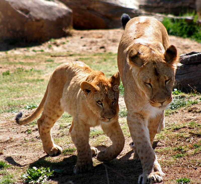 Female Lion With Lion Cub Stock Photo