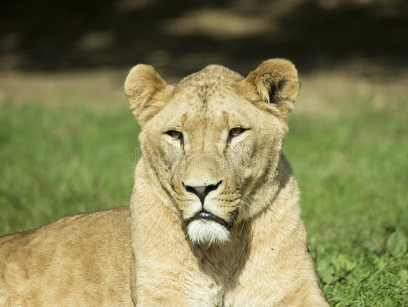 Female Lion at Longleat Wildlife Park. Lioness sunning herself in the lion enclosure at Longleat Safari Wildlife Park in Wiltshire England stock photo