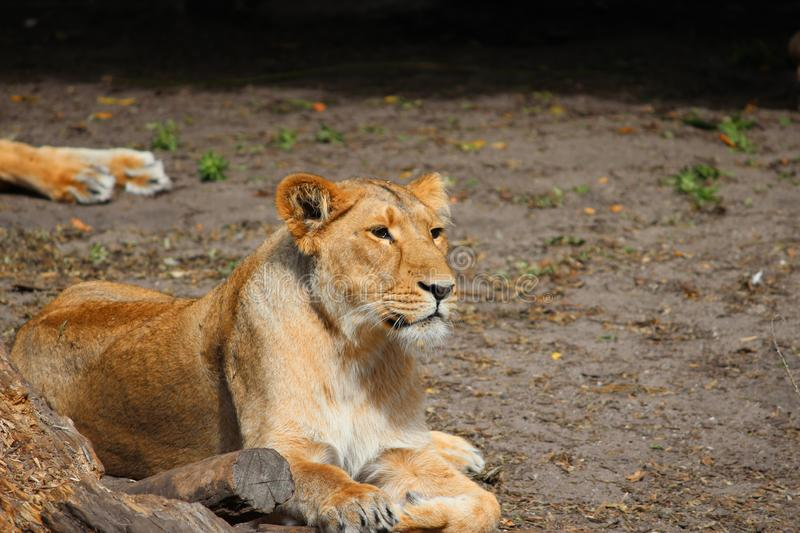 Female lion is lying in the grass in the sun at Blijdorp Zoo in Rotterdam the Netherlands. Female lion is lying in the grass in the sun at Blijdorp Zoo in stock photography