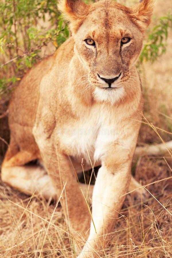 Female lion in Masai Mara royalty free stock photography