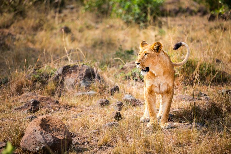 Female lion in Africa royalty free stock image