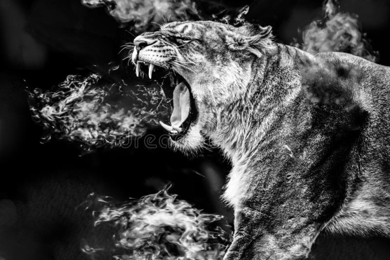 Female Lion portrait roaring. The lion, Panthera leo. it is a muscular, deep-chested cat with a short, rounded head, a reduced neck and round ears. Adult female royalty free stock images