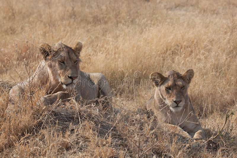 Download Female Lion s stock image. Image of game, watching, tanzania - 18090125