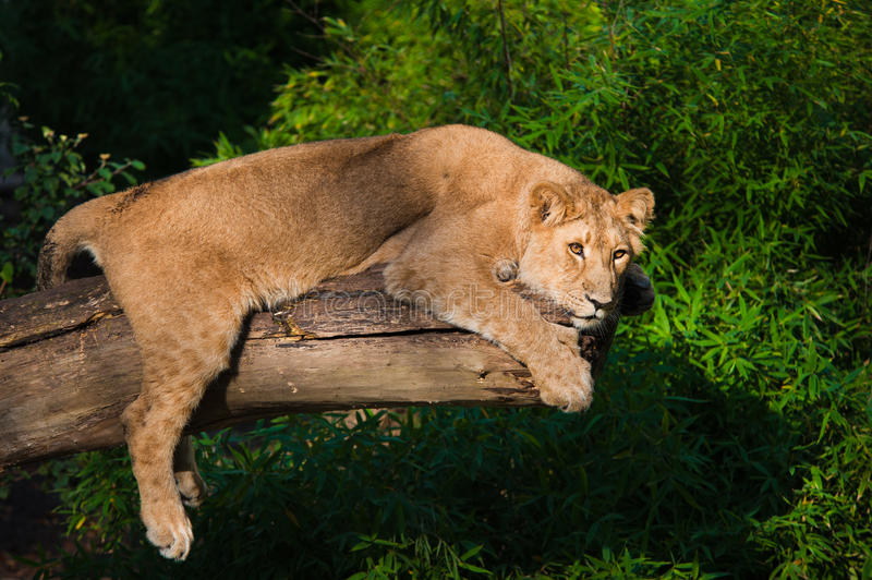 Download Female lion in a tree stock photo. Image of hunter, carnivore - 18137482