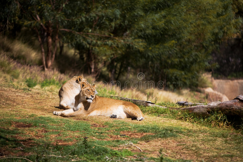 Download Female Lions stock photo. Image of dirt, concentrate, dangerous - 8717624