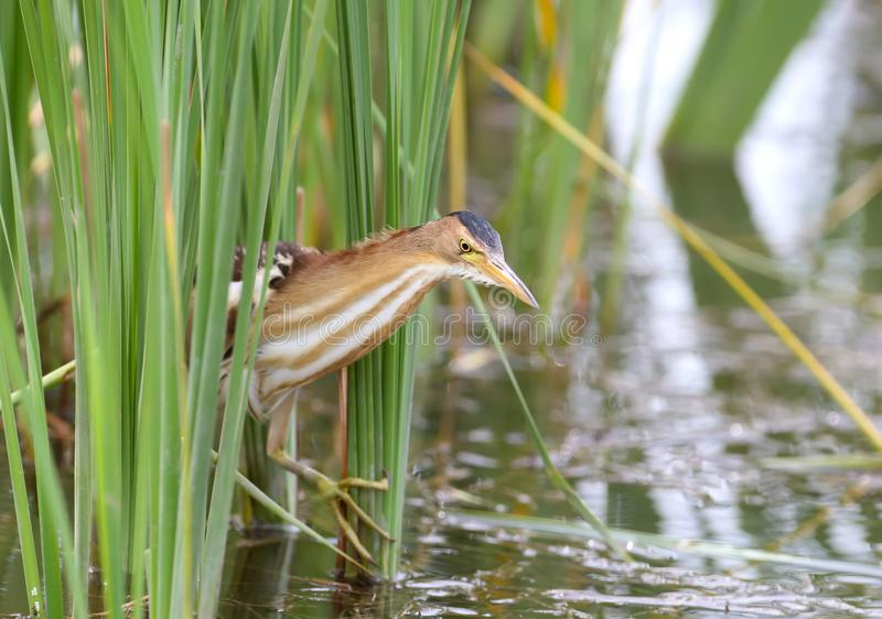 Female little bittern with funny crooked legs stock photos