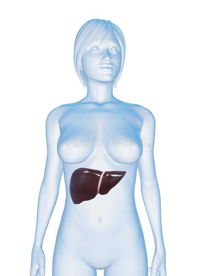 Female liver stock photos