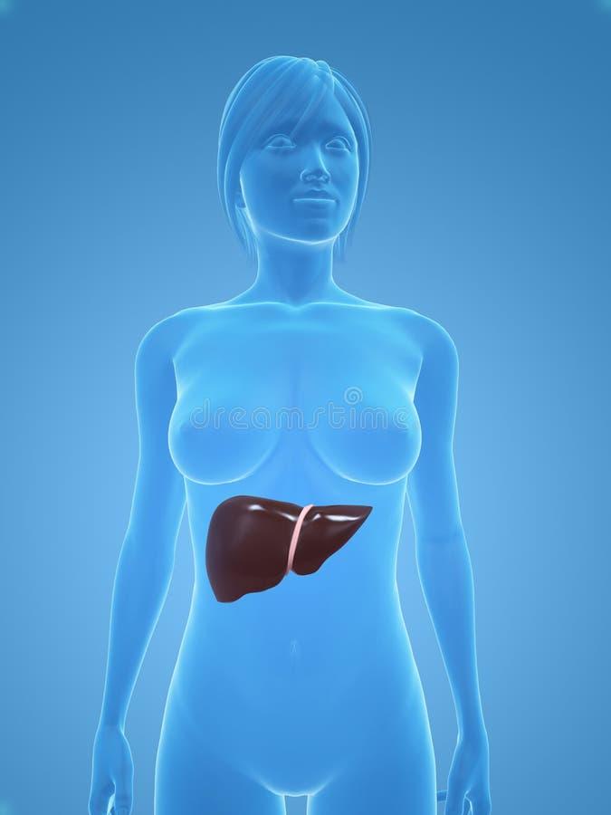 Female liver stock illustration