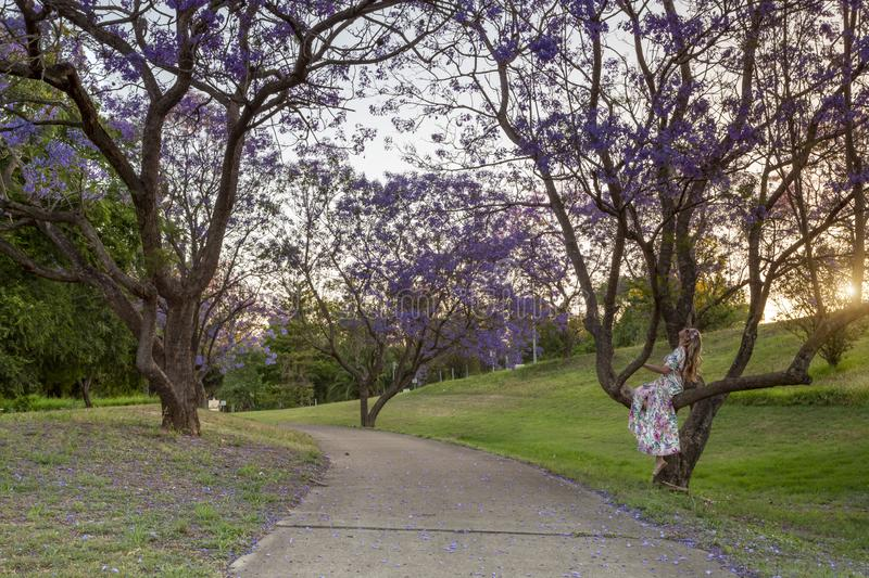 Female looking up at the Jacaranda trees blooming in vibrant purple royalty free stock image