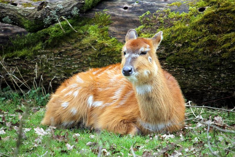 Female lowland nyala Tragelaphus angasii, an antelope native t royalty free stock photos