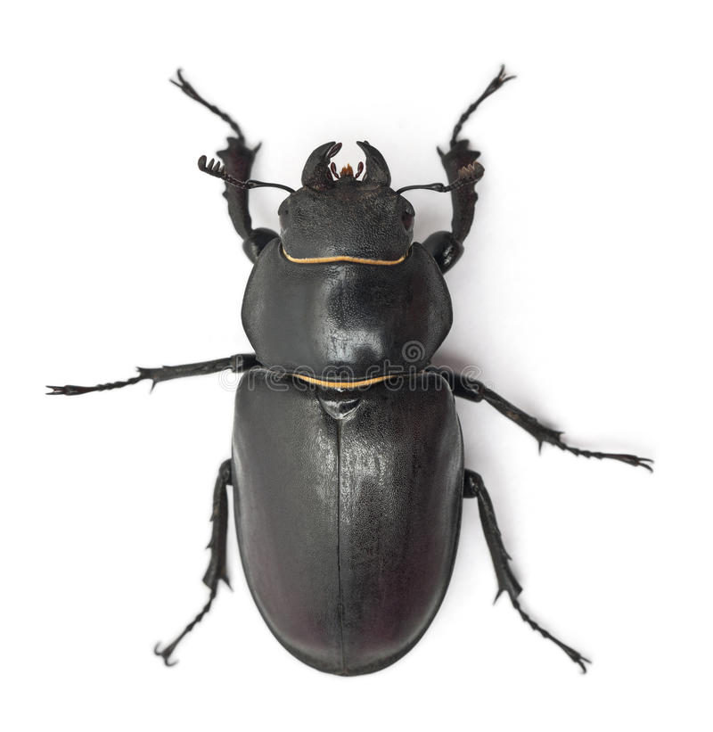 Female Lucanus cervus stock images