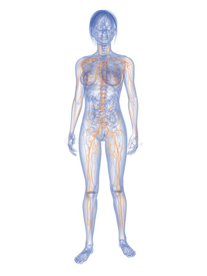 Female lymphatic system vector illustration