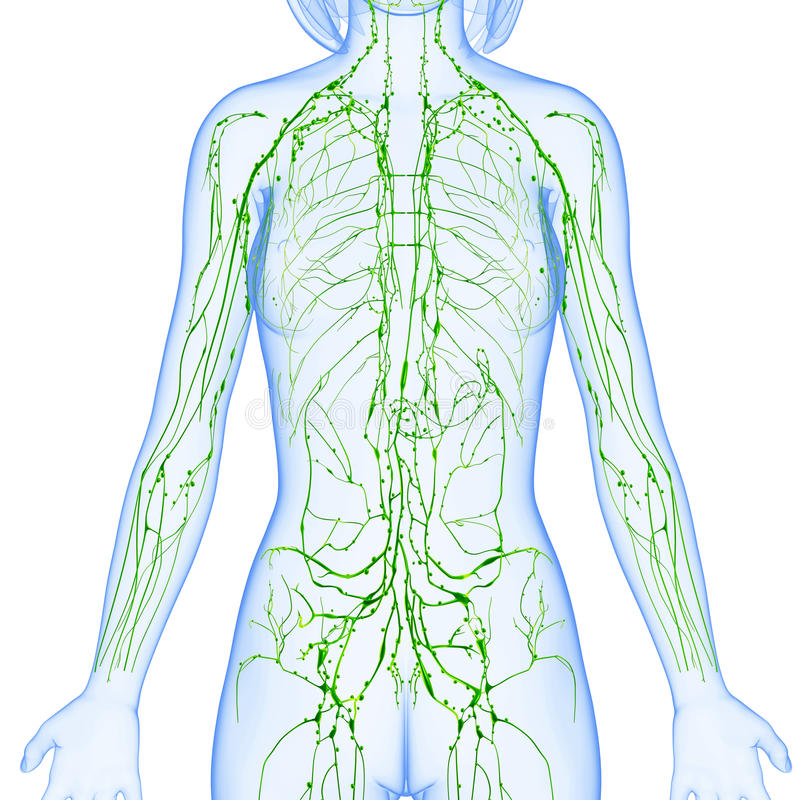 Female Lymphatic System Of Half Body Stock Illustration ...