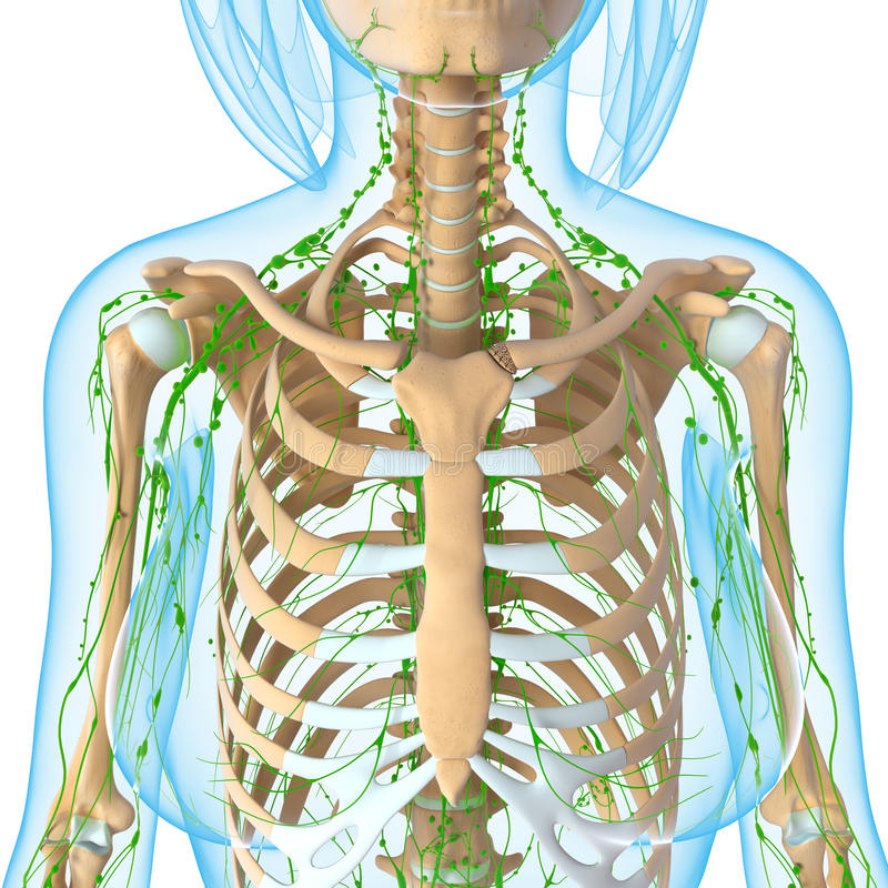 Female Lymphatic system of half body stock illustration