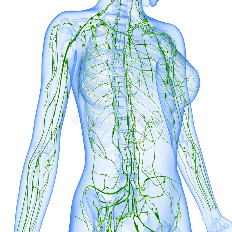 Female Lymphatic system x ray stock illustration