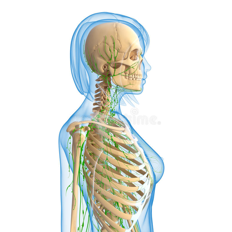 Female Lymphatic System With Skeleton Stock Illustration