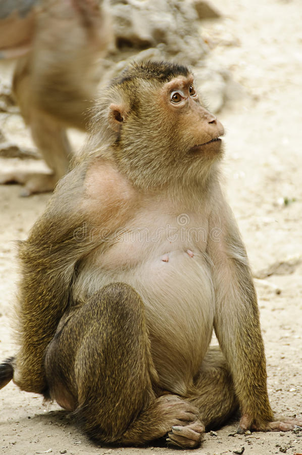 Female macaque stock images