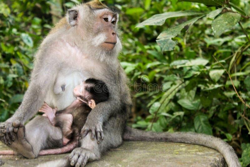 Female macaque monkey feeding her baby stock image