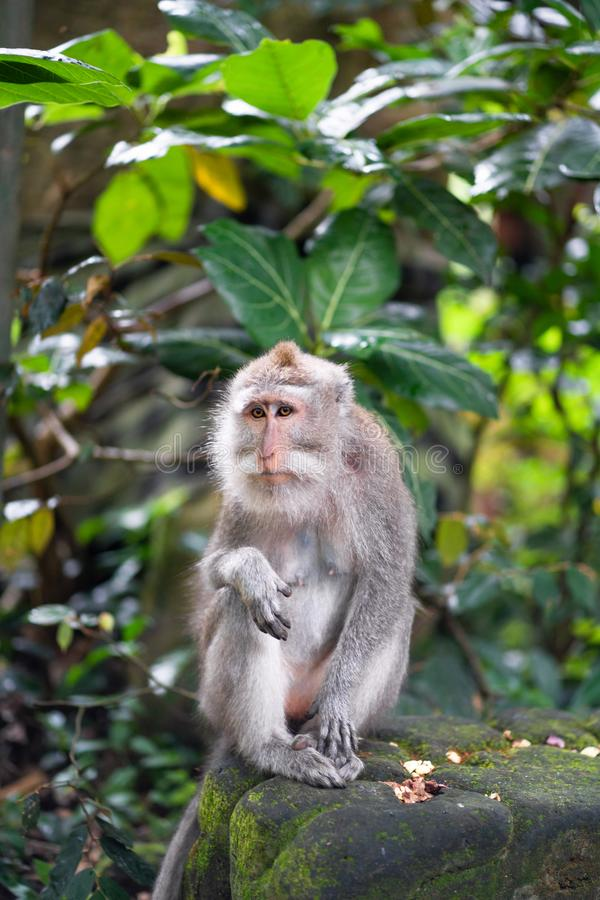 Female macaque with a sad look. Tropics flora and fauna stock image